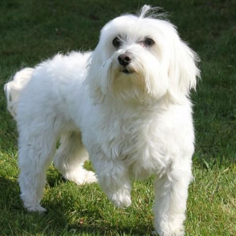 Maltese Dog Breed Info