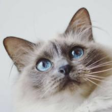 Birman Cat Breed Info