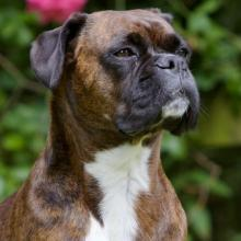 Boxer Dog Breed Info